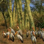 Yellow billed storks, Gorongosa. Photo: Rainbow Tours
