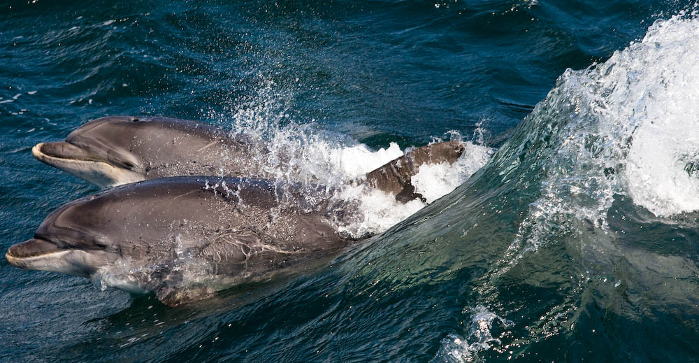 BND Bottlenose dolphin (Tursiops truncatus) Loop Head, Co Clare Ireland. Taken on Dolphin Watch, Carrigaholt trip.   Credit Tim Stenton